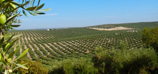 Los principales cultivos extensivos en Andalucía son: el olivo, cereal, frutales y viñedo.