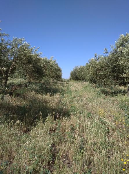 Plantación de olivar con cubierta vegetal